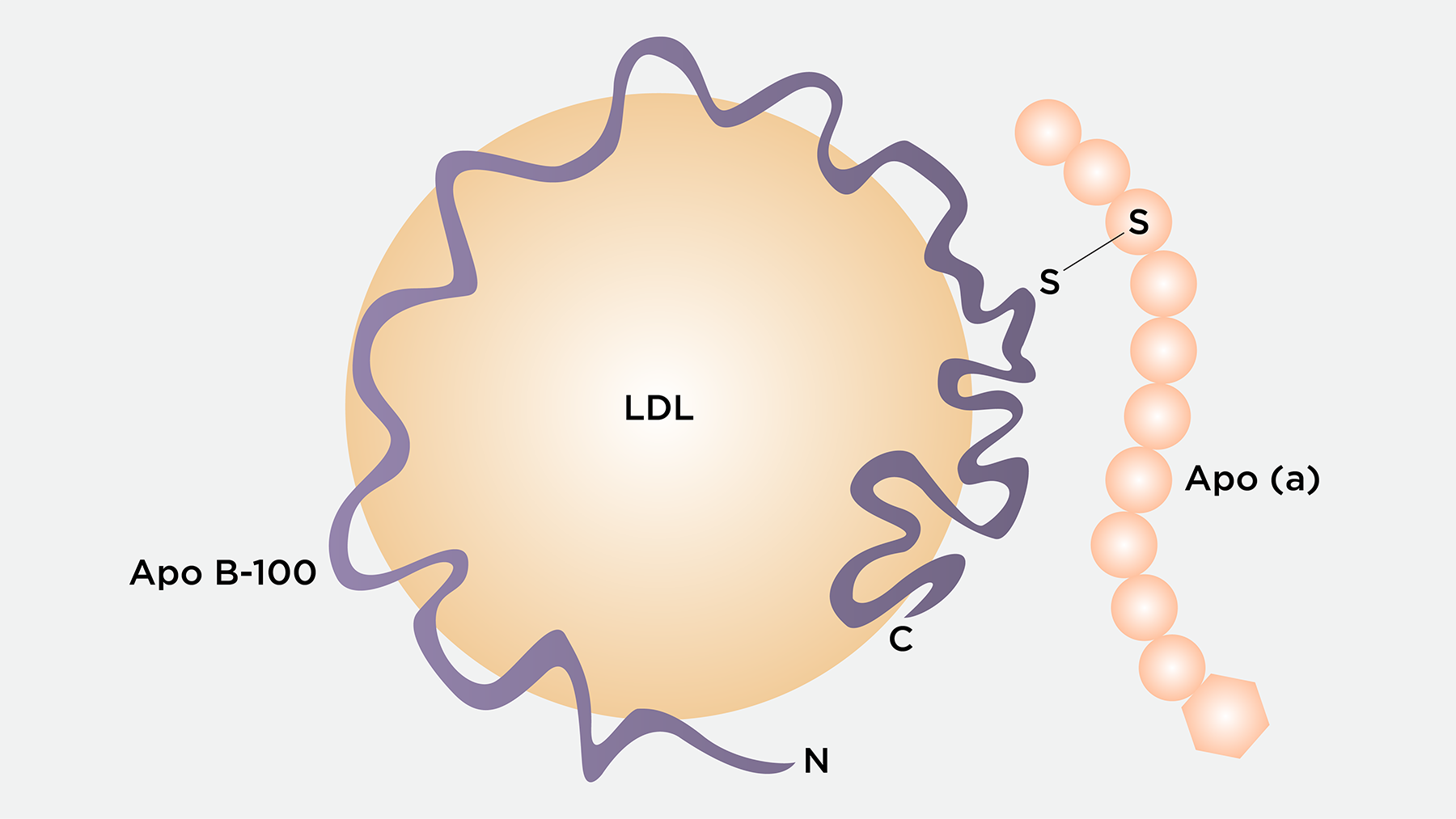 Diagram of Lipoprotein little a